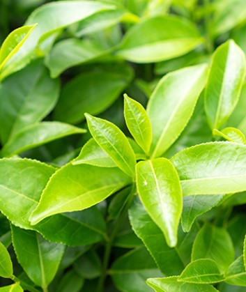 missha-airy-fit-green-tea